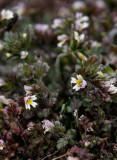 Tromsögontröst (Euphrasia hyperborea)
