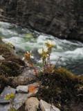 Tuvbräcka (Saxifraga cespitosa)
