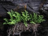 Fjällhällebräken (Woodsia alpina)