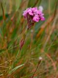 Fjällnejlika (Viscaria alpina var. alpina)