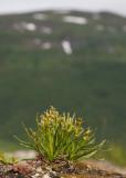 Dvärgyxne (Chamorchis alpina)