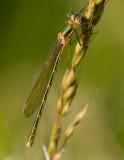 Allmän smaragdflickslända (Lestes sponsa)