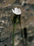 Polarblära (Silene involucrata ssp. tenella)