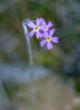 Smalviva (Primula stricta)