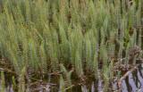 Hästsvans (Hippuris vulgaris)