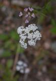 Rödkörvel (Torilis japonica)