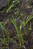 Dvärgigelknopp (Sparganium natans)