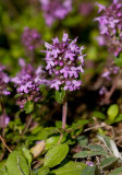 Stortimjan (Thymus pulegioides)