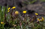 Kotula (Cotula coronopifolia)