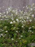 Hårkörvel (Chaerophyllum temulum)