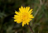 Stor haverrot (Tragopogon dubius)