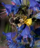 Blomkrabbspindel (Misumena vatia)