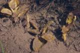 Källnate (Potamogeton coloratus)