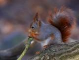 Eurasian Red Squirrel  (Sciurus vulgaris)