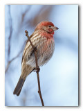 Oiseaux chanteurs et autres/Song Birds etc