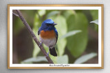 Blue-throated Flycatcher (Cyornis rubeculoides)