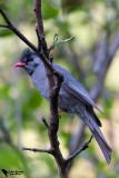 Black Bulbul (Hypsipetes leucocephalus)