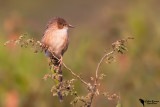 Common Babbler (Turdoides caudata)