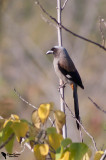 Grey Treepie, (Dendrocitta formosae)