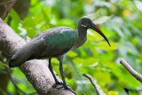 Hadada Ibis (Bostrychia hagedash)