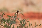Long-tailed Paradise Whydah (Vidua paradisaea)