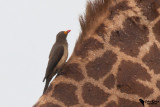 Buphagidae - Oxpeckers