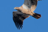 Immature Bald Eagle, Reelfoot Lake National Wildlife Refuge
