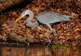 Great Blue Heron, Chattahoochee Nature Center