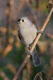 Tufted titmouse, Chattahoochee Nature Center