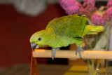 Golden-naped Amazon 8 Weeks old