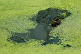 Gator Watching from under Duckweed