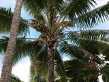 9175.Coconut Palm