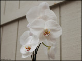 9256.White Orchids