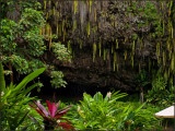 9456-.Fern GrottoWas Badly Damaged by a Hurricane and is now recovering.