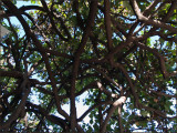 9608.Tangled TreeIt gave great shade!