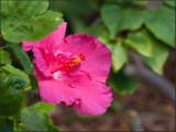 9746.Pink Hibiscus