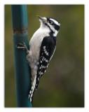 Downey Woodpecker.jpg