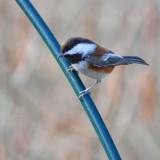 backyard_birds