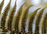 Fern,  Christchurch Botanical Gardens  1