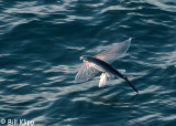Flying Fish   1