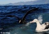 Northern Giant Petrel &  Wandering Albatross,   Kaikoura  1
