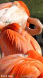 Caribbean Flamingos,  San Diego Zoo   1