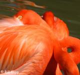 Caribbean Flamingos,  San Diego Zoo   2