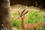 Southern Gerenuk,  San Diego Zoo   1