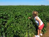 Pepper Farming 2