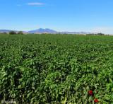 Pepper Farming 1