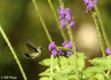 Hummingbird,  Arenal   2