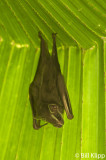 Tent Bat,   Golfo Dulce  1