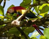 Scarlet Macaw,  Corcovado Ntl Park   1