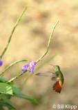 Rufous Tailed Hummingbird,  Arenal  1
